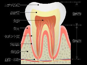 歯髄イラスト